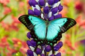 Asian Tropical Swallowtail Butterfly, Papilio Larquinianus On Lupine, Bandon, Oregon