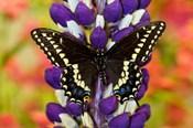 Swallowtail Butterfly, Papilio Polyxenes On Lupine, Bandon, Oregon