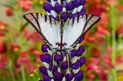 Eurytides Agesilaus Autosilaus Butterfly On Lupine, Bandon, Oregon