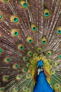 Male Peacock Fanning Out His Tail Feathers