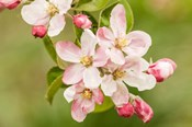 Hood River, Oregon, Apple Blossoms In The Nearby Fruit Loop Area