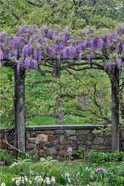 Wisteria In Full Bloom On Trellis Chanticleer Garden, Pennsylvania