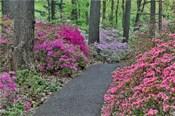 Path And Azaleas In Bloom, Jenkins Arboretum And Garden, Pennsylvania