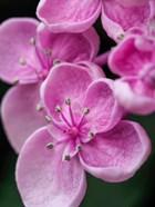 Hydrangea Macrophylla 'Ayesha', Lilac Pink