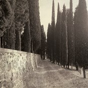 Tuscan Cypress Row