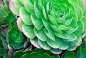 Succulents IV