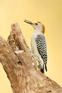 Golden-Fronted Woodpecker Eating A Seed, Linn, Texas