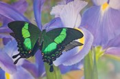 Green Swallowtail Butterfly, Papilio Palinurus Daedalus, In Reflection With Dutch Iris