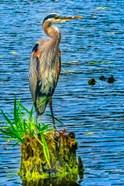 Great Blue Heron, Juanita Bay Park, Kirkland, Washington State