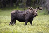 Wyoming, Yellowstone National Park Bull Moose With Velvet Antlers
