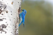 A Male Mountain Bluebird Perching At Its Nest Hole