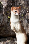 Portrait Of A Long-Tailed Weasel