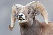 Bighorn Ram Lifts Its Lip In A Flehmen