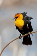Yellow-Headed Blackbird Perched On A Reed