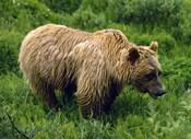 Rain-Soaked Grizzly Bear In Grass, Profile, Denali National Park, Alaska