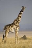 Masai Giraffe Standing In A Forest, Kenya