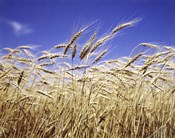 Close-Up Of Heads Of Wheat Stalks Against Blue Sky