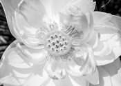 Close-Up Of American White Waterlily Flower