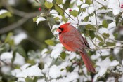 Close-Up Of Male Northern Cardinal In American Holly