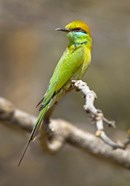 Green Bee-Eater Perching On Branch, India