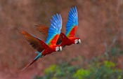 Close Up Of Two Flying Red-And-Green Macaws