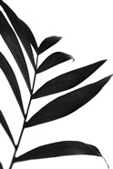 Black Palms IV