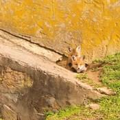 Fox Cubs II