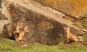 Fox Cubs I