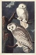 Pl 121 Snowy Owl