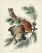 Pl 97 Little Screech Owl