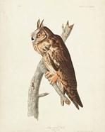 Pl 383 Long-eared Owl