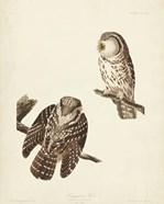 Pl 380 Tengmalm's Owl