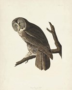 Pl 351 Great Cinereous Owl