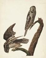 Pl 378 Hawk Owl