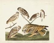 Pl 432 Burrowing Owl
