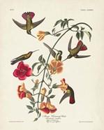 Pl 184 Mango Hummingbird