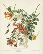 Pl 47 Ruby-throated Hummingbird