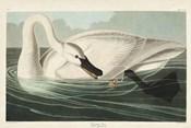 Pl 406 Trumpeter Swan
