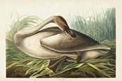 Pl 376 Trumpeter Swan