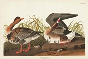 Pl 286 White-fronted Goose