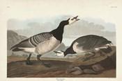 Pl 296 Barnacle Goose