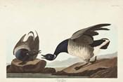 Pl 391 Brant Goose