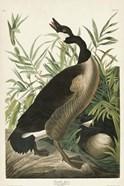 Pl 201 Canada Goose