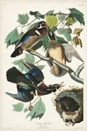 Pl 206 Wood Duck