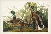 Pl 221 Mallard Duck