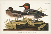 Pl 228 Green-winged Teal