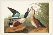 Pl 327 Shoveller Duck