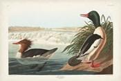 Pl 331 Goosander Duck