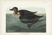 Pl 408 American Scoter Duck