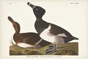 Pl 234 Ring-necked Duck